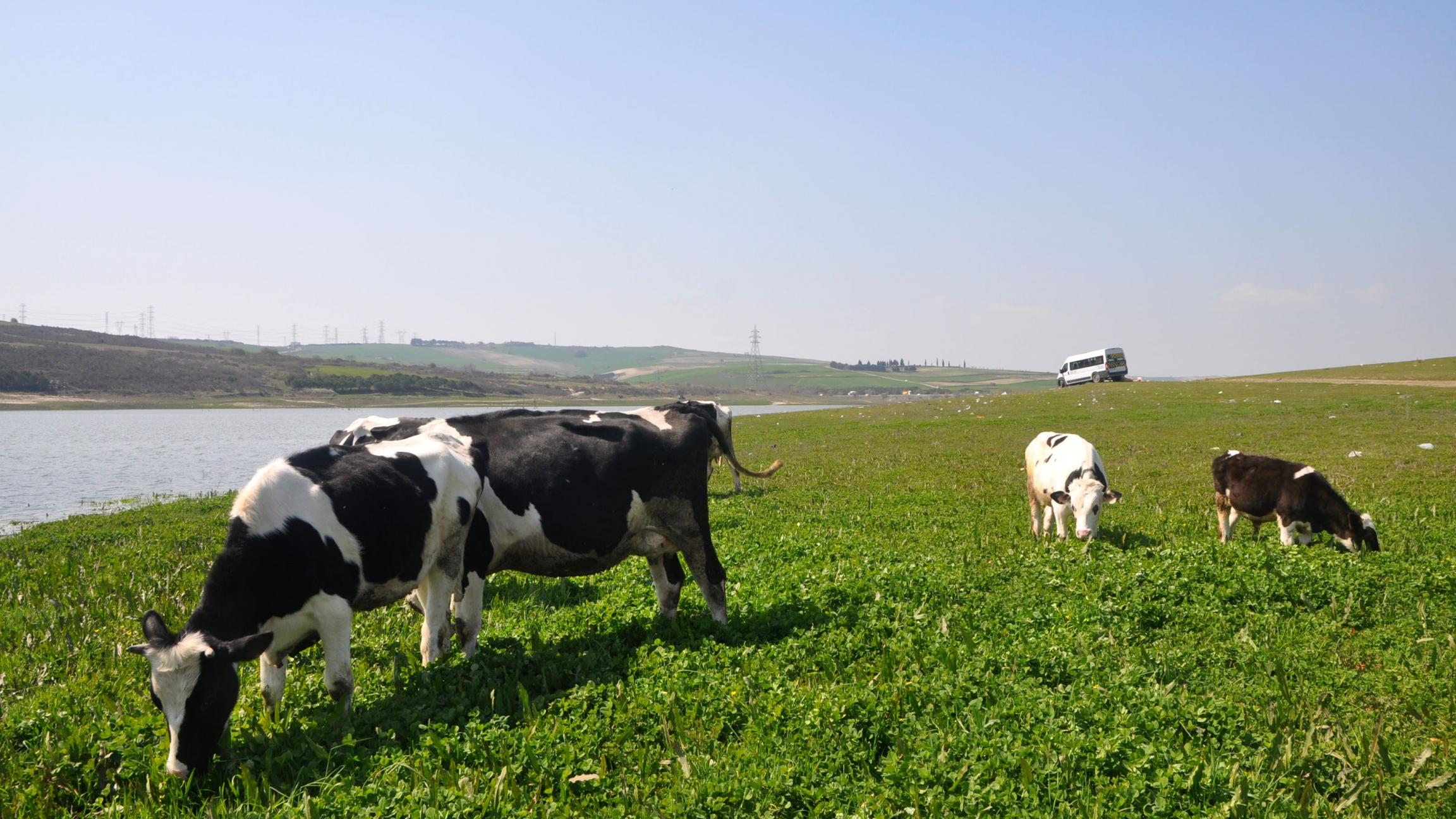 A few cows graze on green grass along a river in daylight hours.