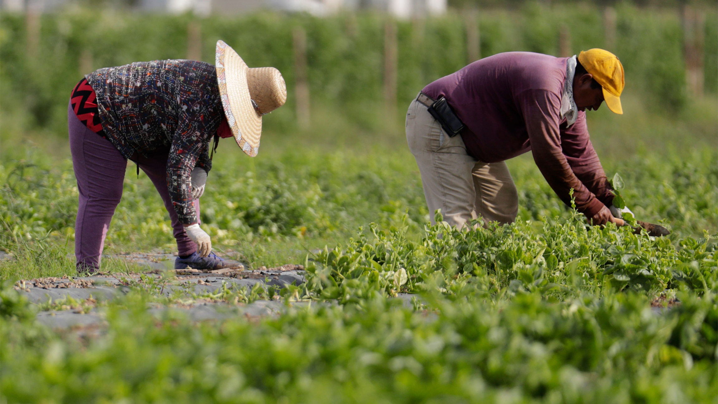 Farmworkers wearing hats gather spinach from a field.