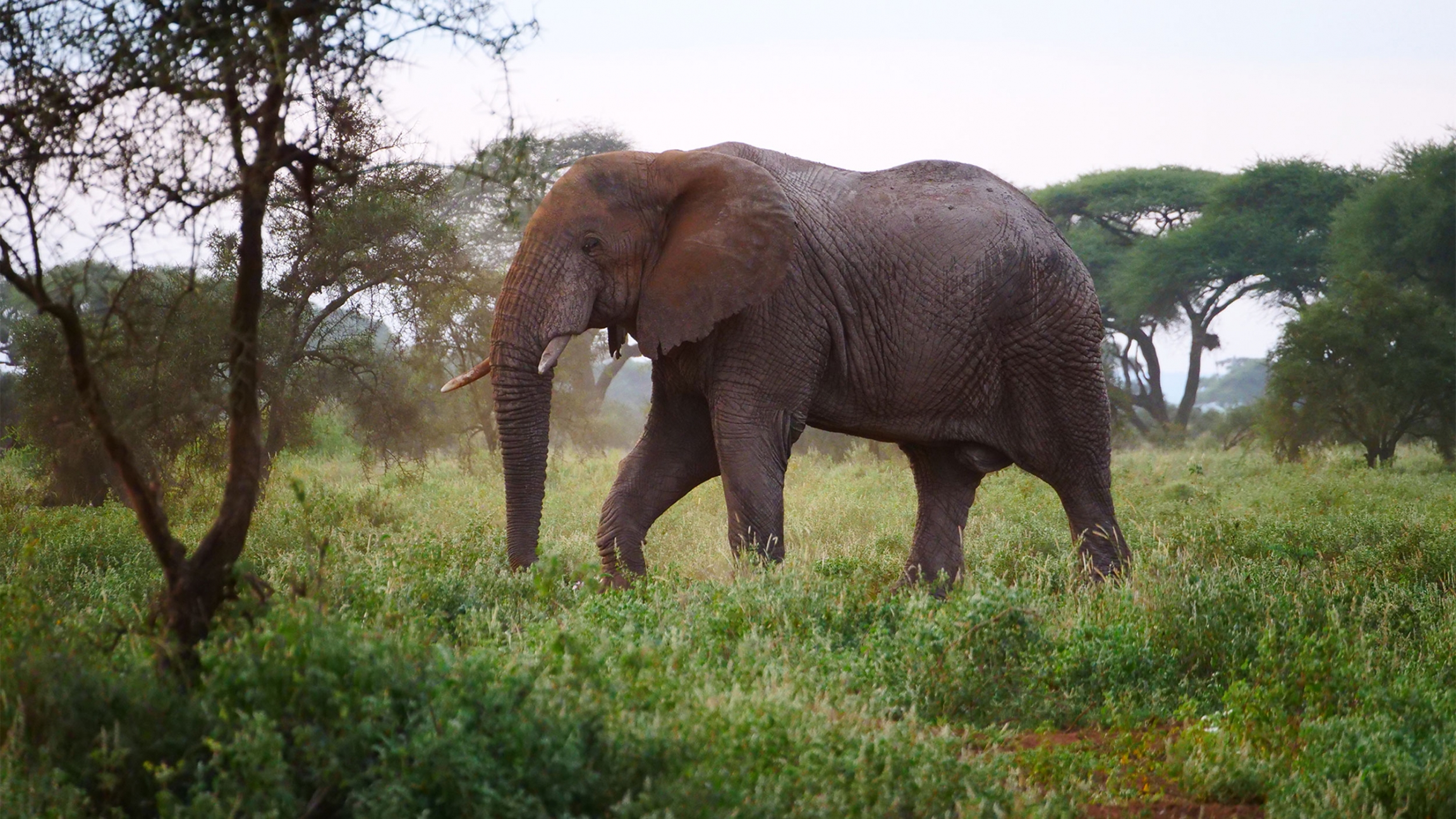 A large elephant among green trees and green grass