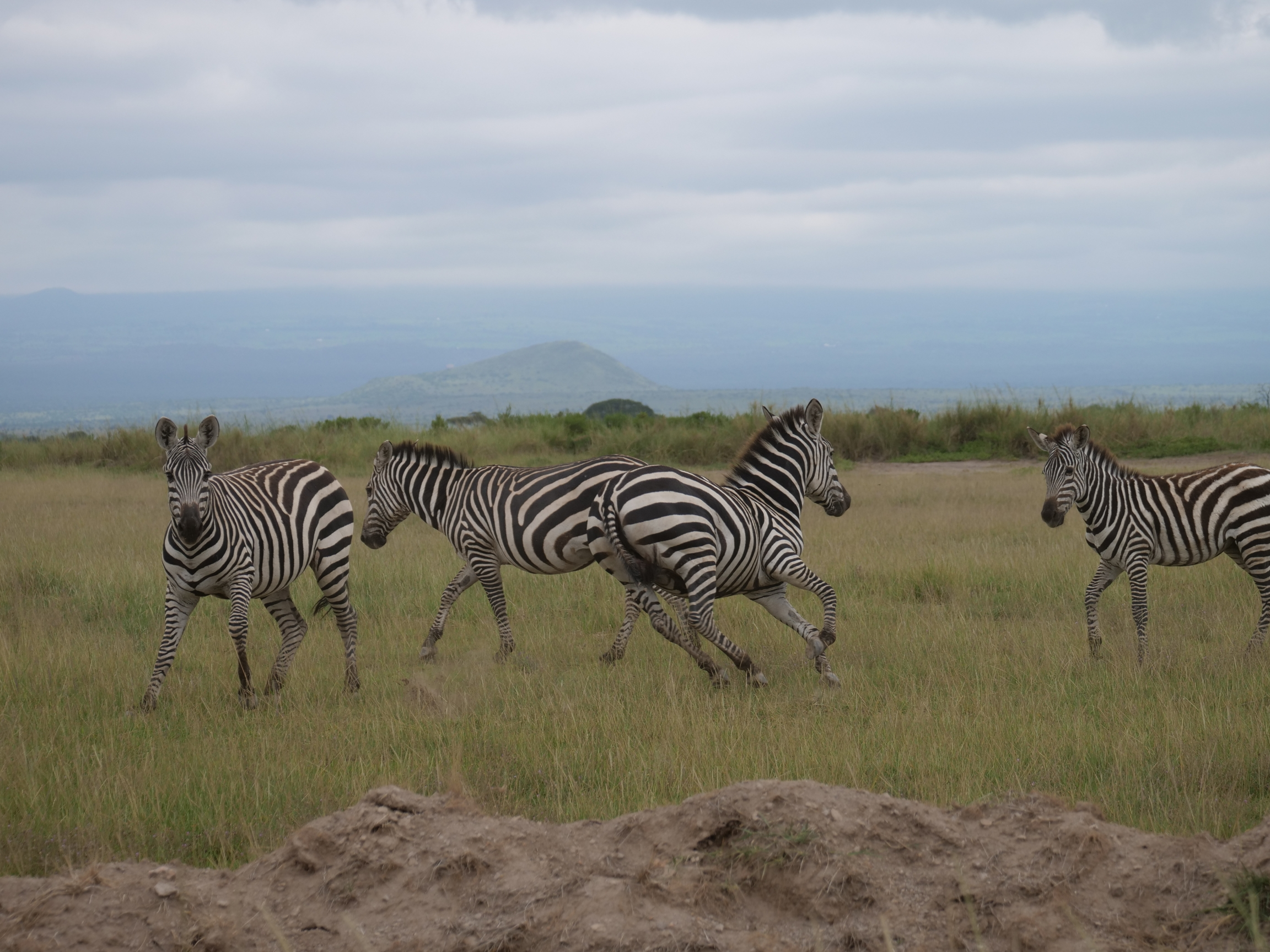 Four zebras frolick in the grass on a sunny day