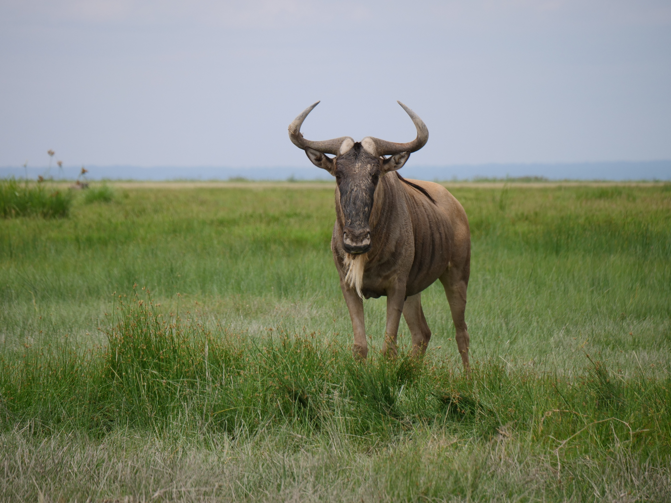A wildebeest stands in the middle of a grassy field