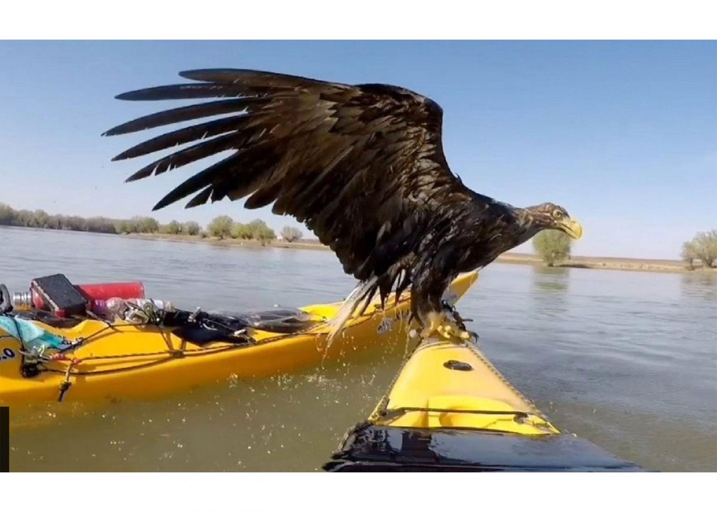 Eagle on part of a yellow boat in the water