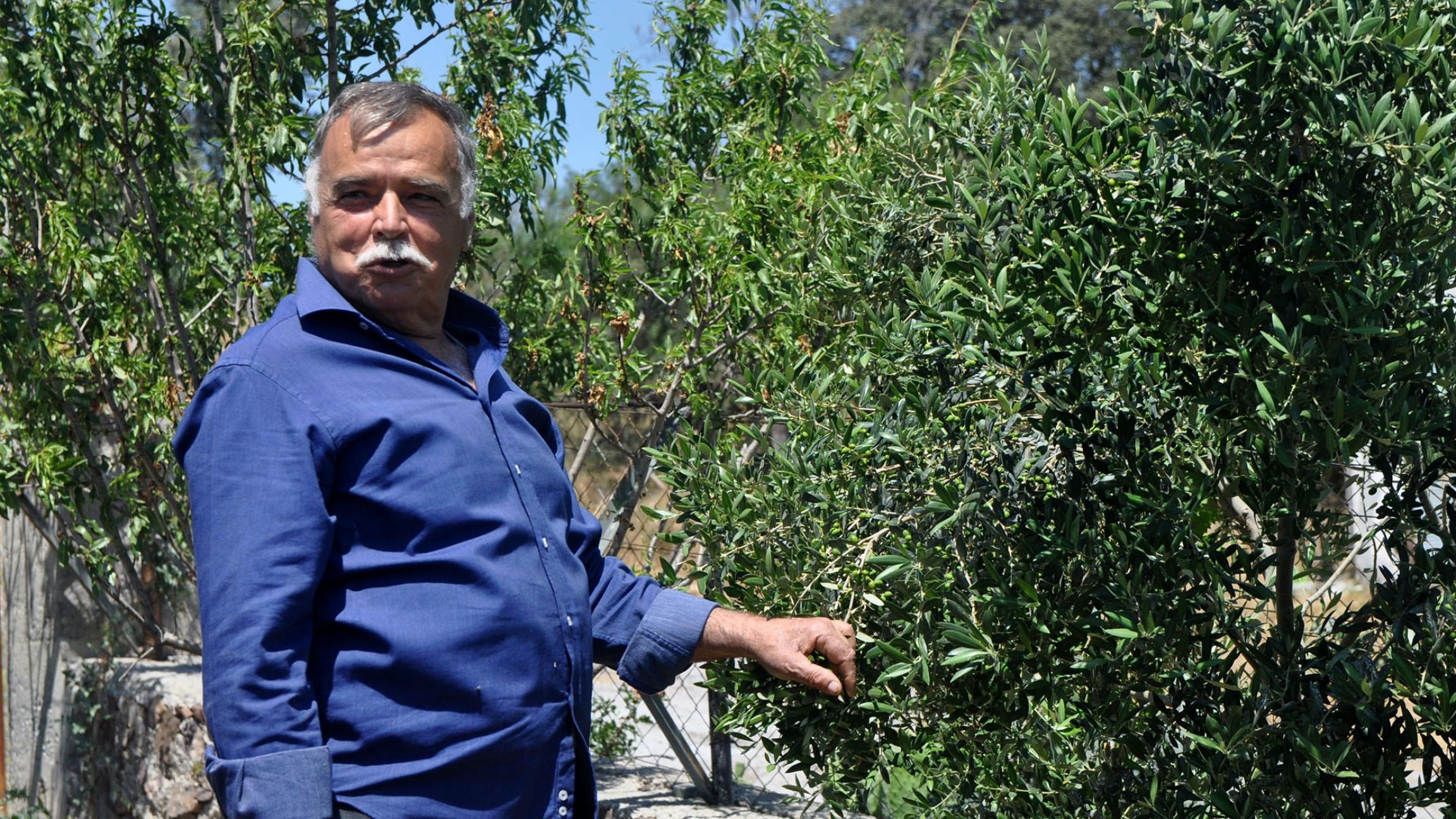 Huseyin Kara shows off his lush green olive trees, like a proud grandfather.