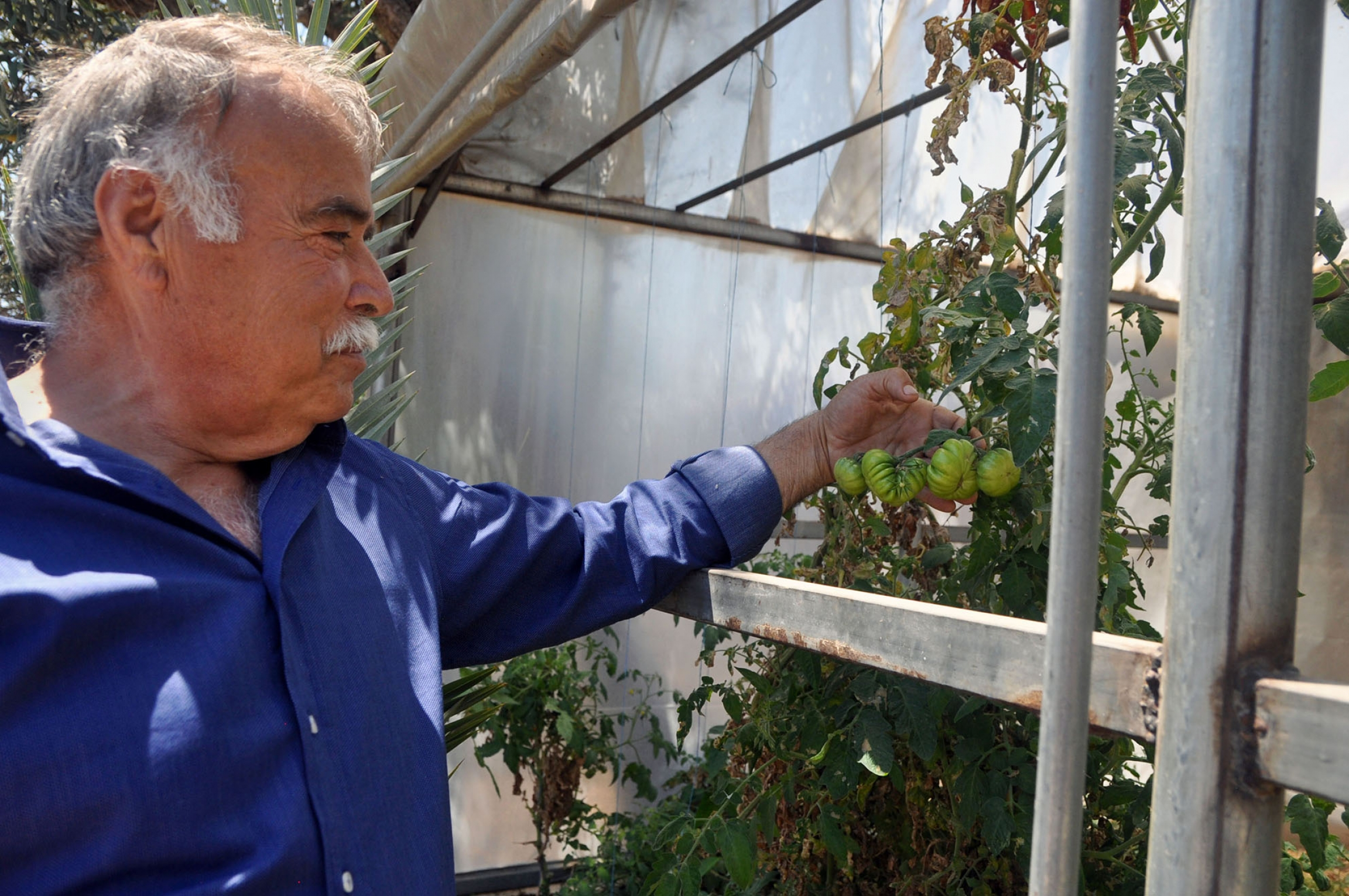 Huseyin Kara inspects an heirloom tomato variety grown in a greenhouse on his farm.