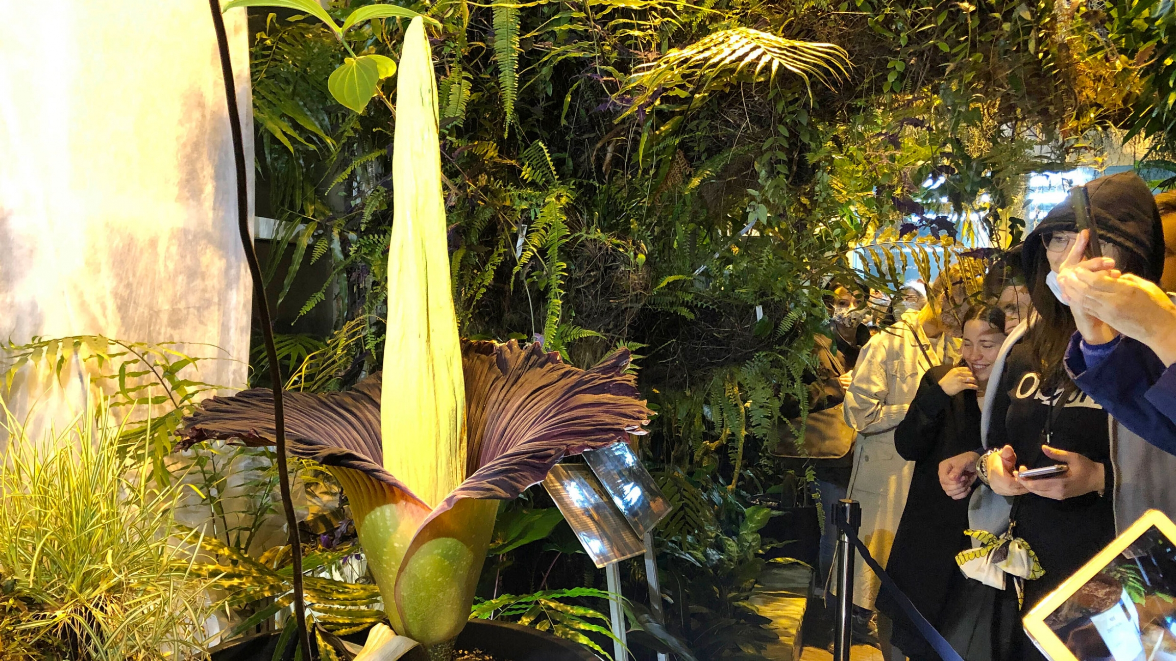 Several people are shown off to the side looking at the tall, yellow blooming of the Sumatran Titan arum flower.