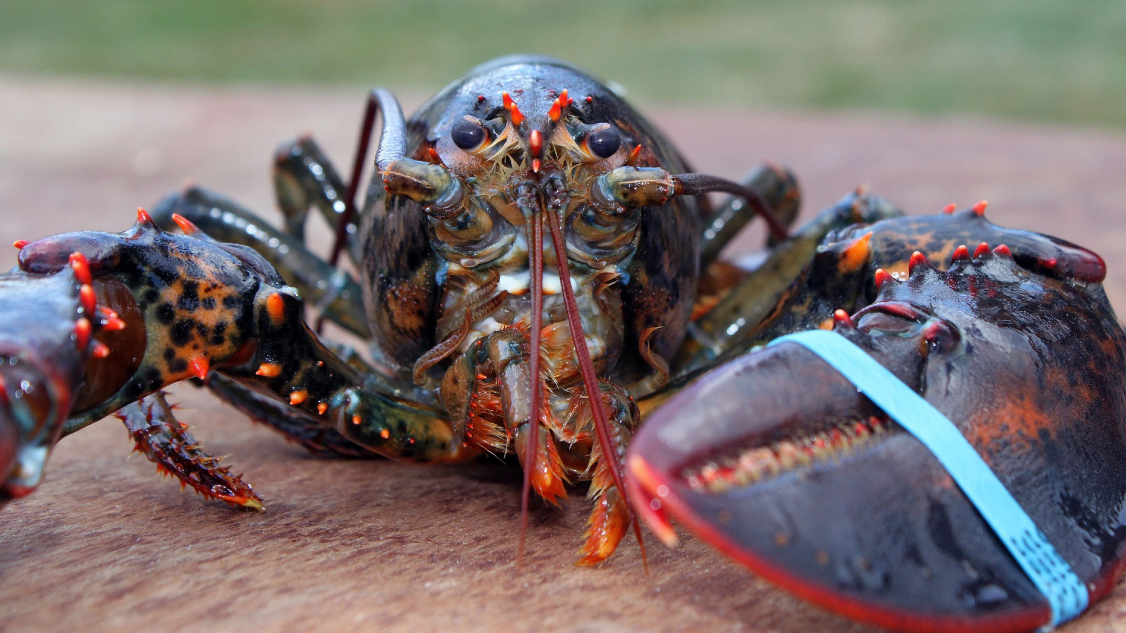 A lobster, up close, with a blue rubber band on its claw.