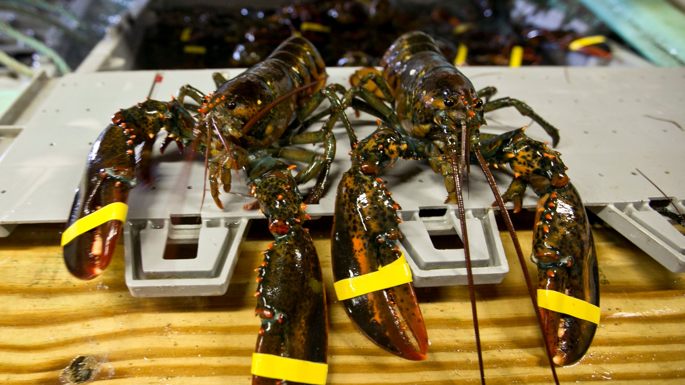 """In this June 12, 2015 file photo, a hardshell lobster, left, and soft-shelled """"shedder"""" look nearly identical prior to being boiled at the Clam Shack in Kennebunkport, Maine."""