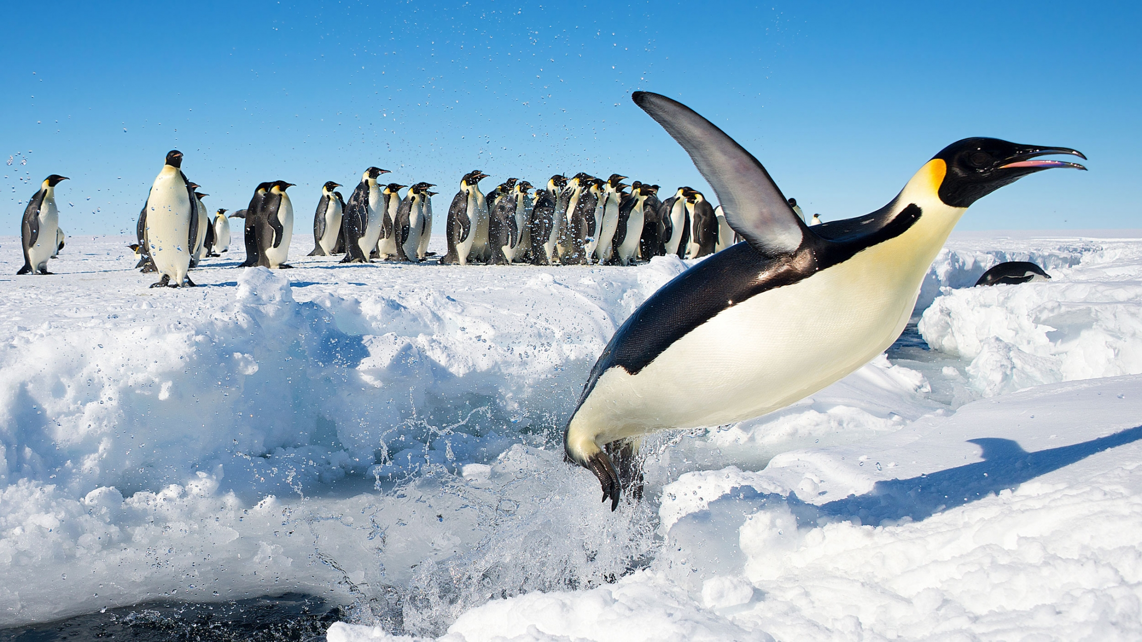 An Emperor penguin jumps out of the water.