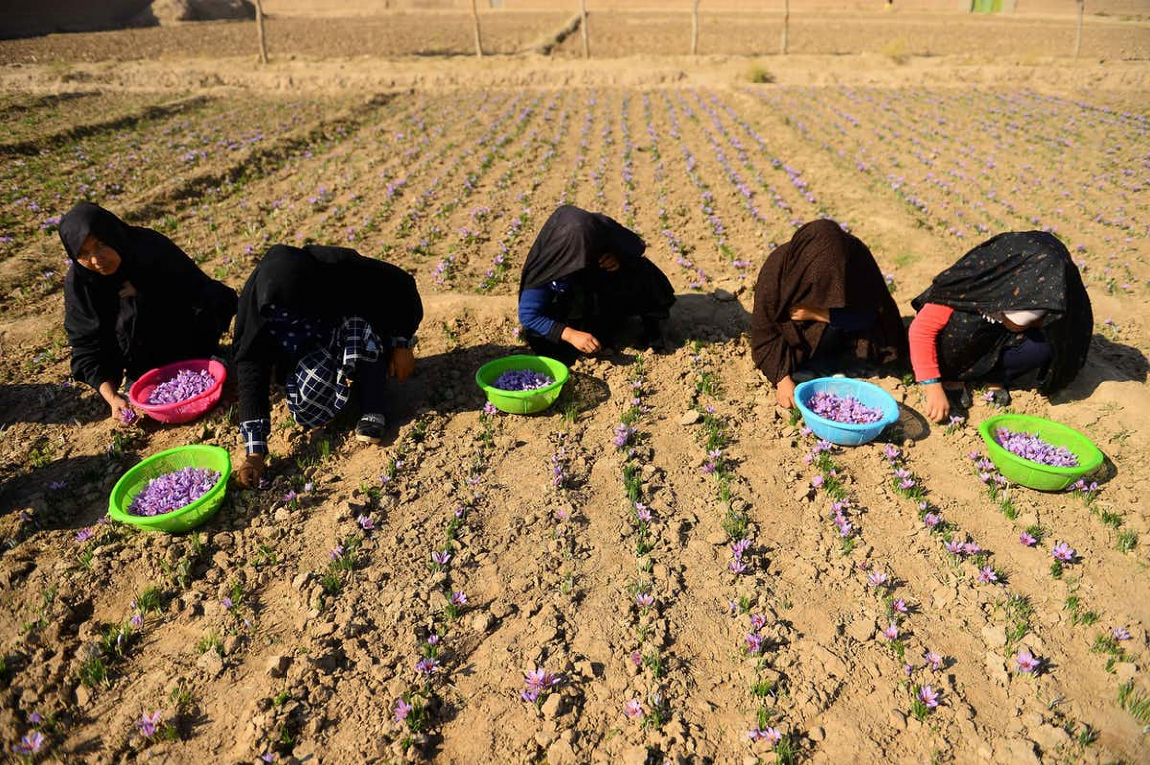 Afghan women harvest saffron flowers in a field on the outskirts of Herat Province in 2018. The region has been suffering a drought for years.