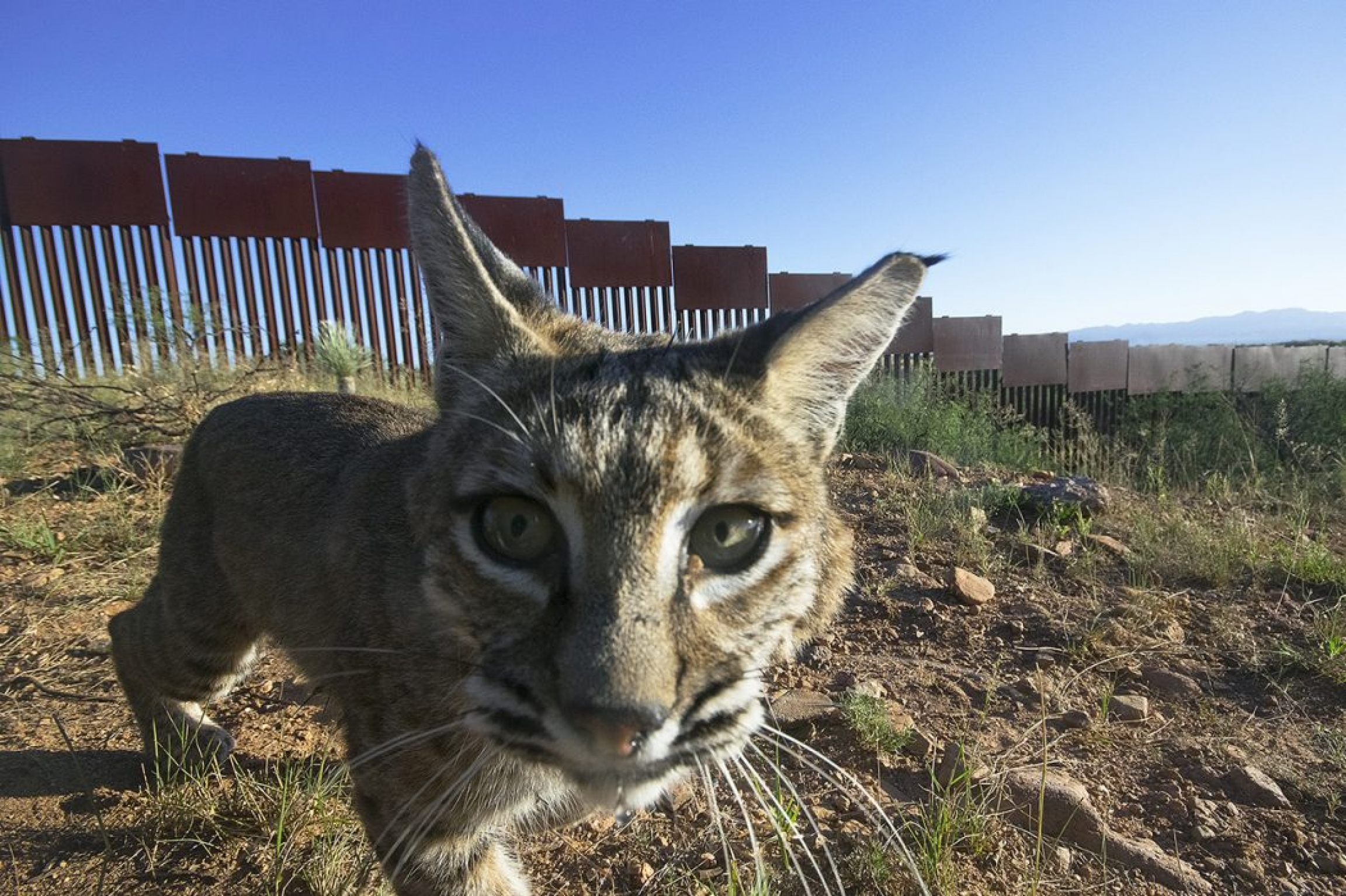 A bobcat is shown looking directly into a camera with the US-Mexico border wall in the distance.