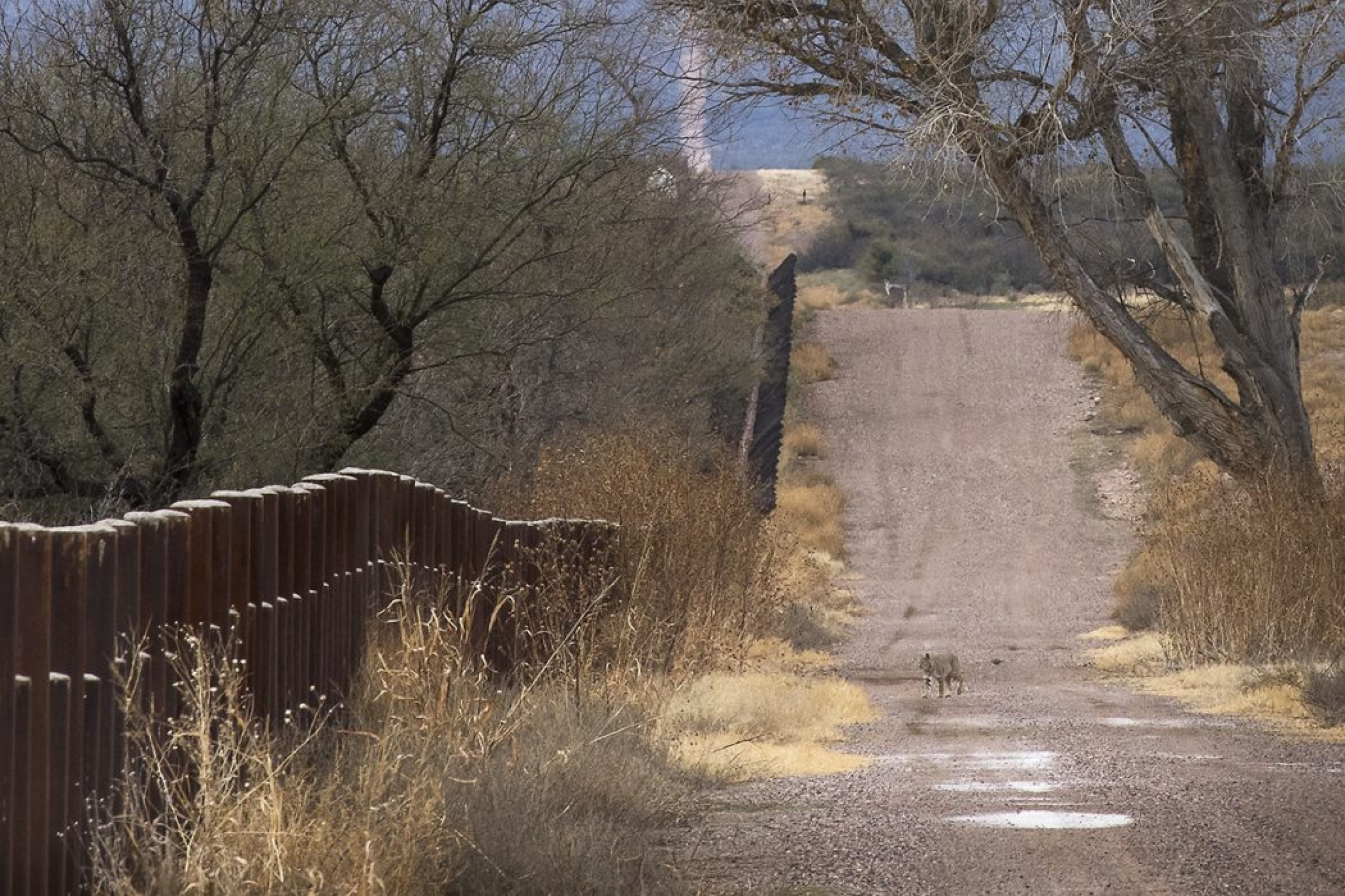 An animal is shown in the distance walking along a dirt road with trees along one side and the US-Mexico border wall along the other side.