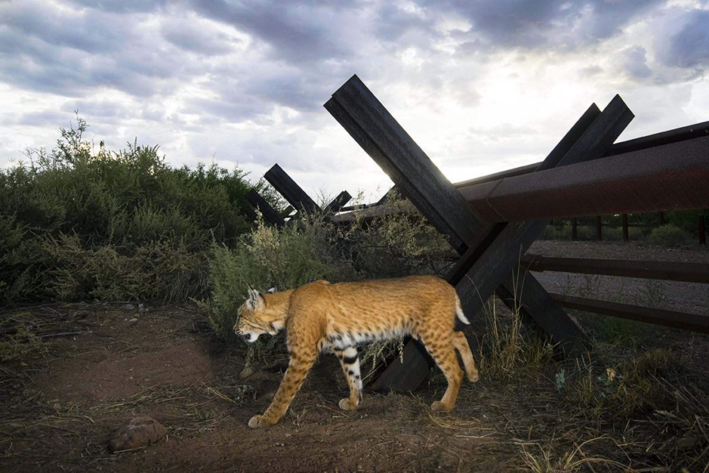A bobcat is shown walking near a permeable metal section of the US-Mexico border.