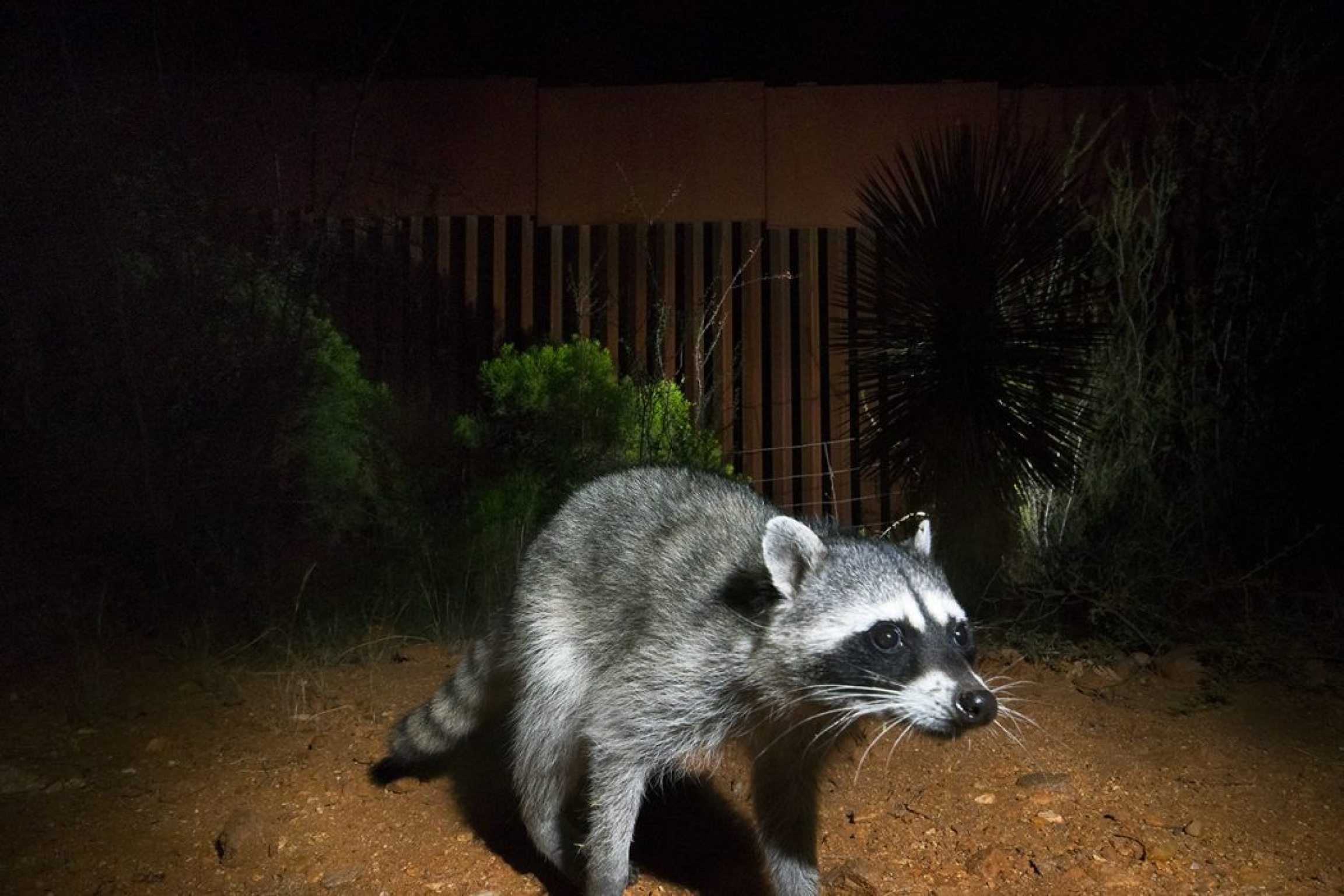 A racoon is illuminated by flash and walking near the US-Mexico border.
