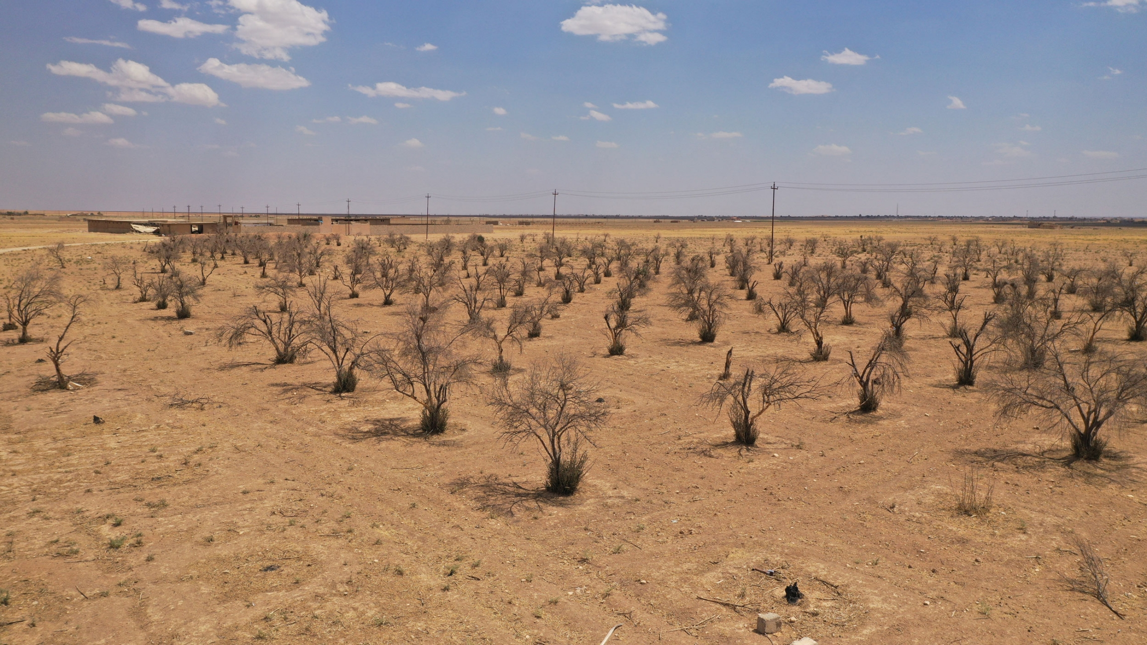 Dry olive trees in Kuri Jami village, Sinjar, August 2021.