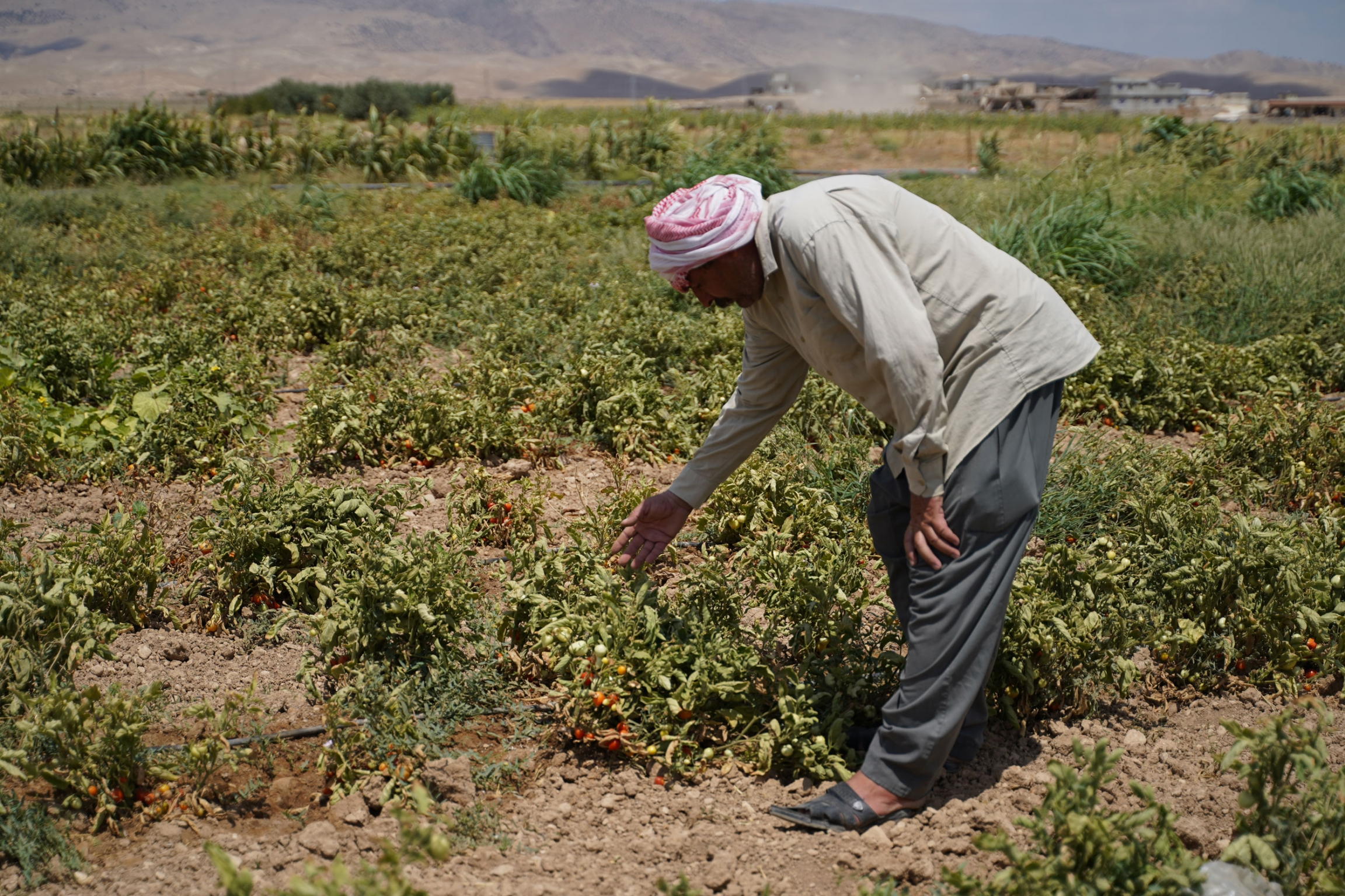 Haji Hassa at his farm, showing how the drought is impacting the farm and plants, Kuri Jami village, Sinjar, August 2021.