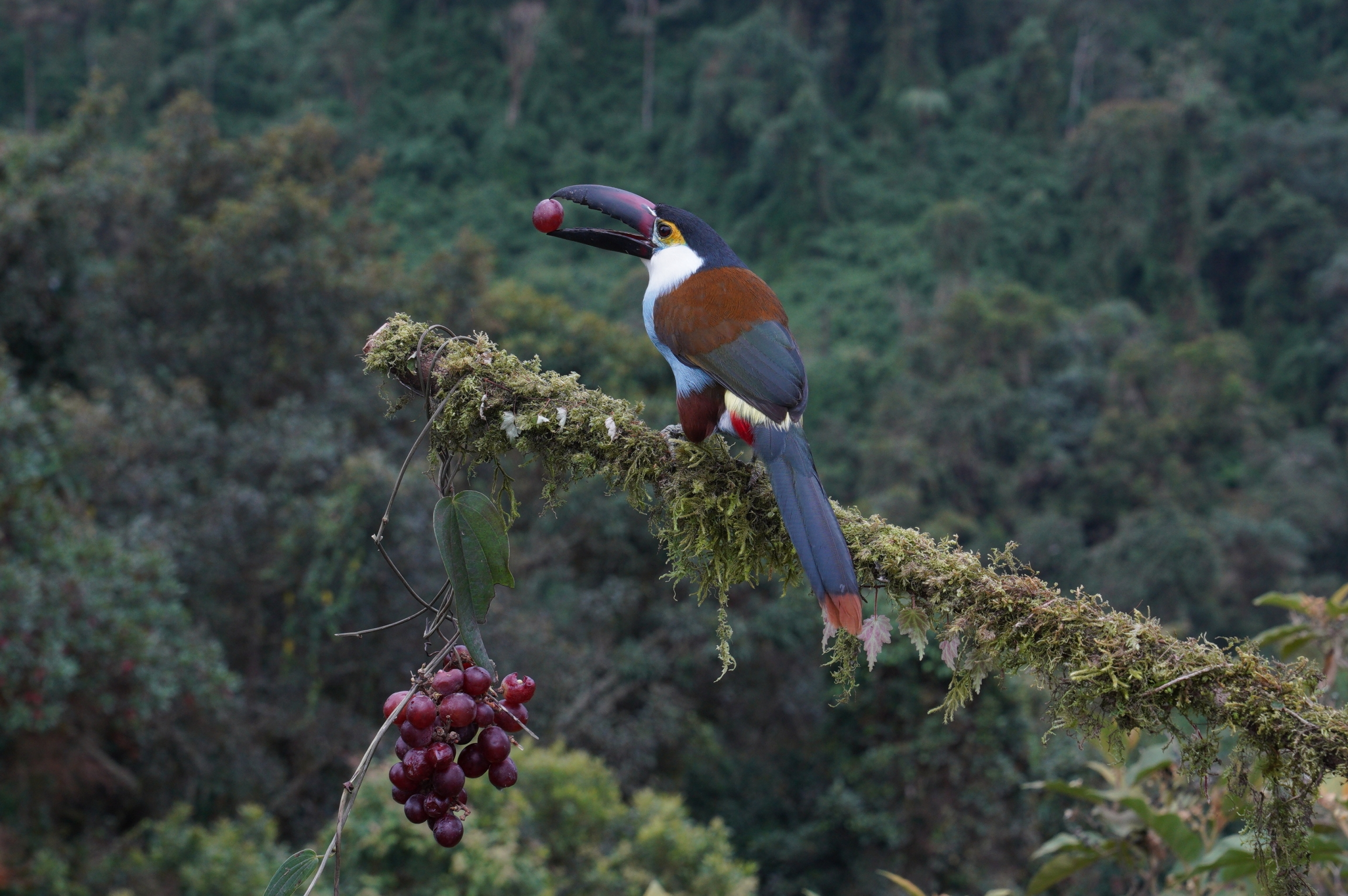 The Black Billed Mountain Toucan is one of the main attractions at El Color de Mis Reves, or the Color of My Dreams,  a birdwatching lodge near Manizales, Colombia.
