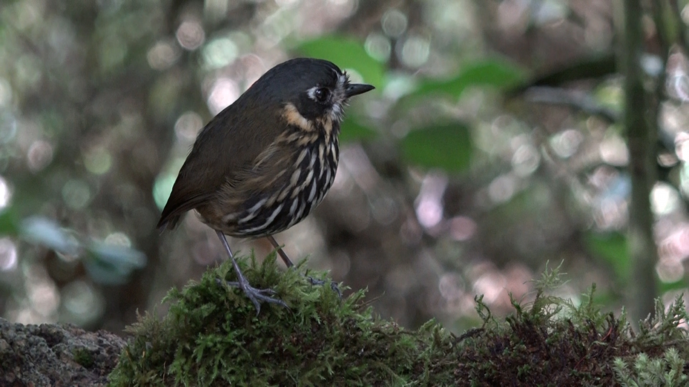 A crescent-faced antpitta at Hacienda El Bosque in Colombia. The bird dwells on the forest floor and is extremely hard to spot. Hacienda El Bosque is one of the only placeswhere it can be seen on a regular basis.