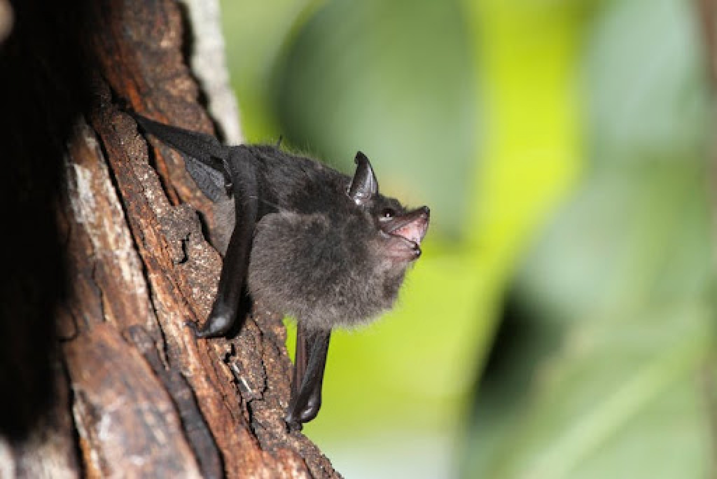 A greater sac-winged bat pup babbling in its day roost.