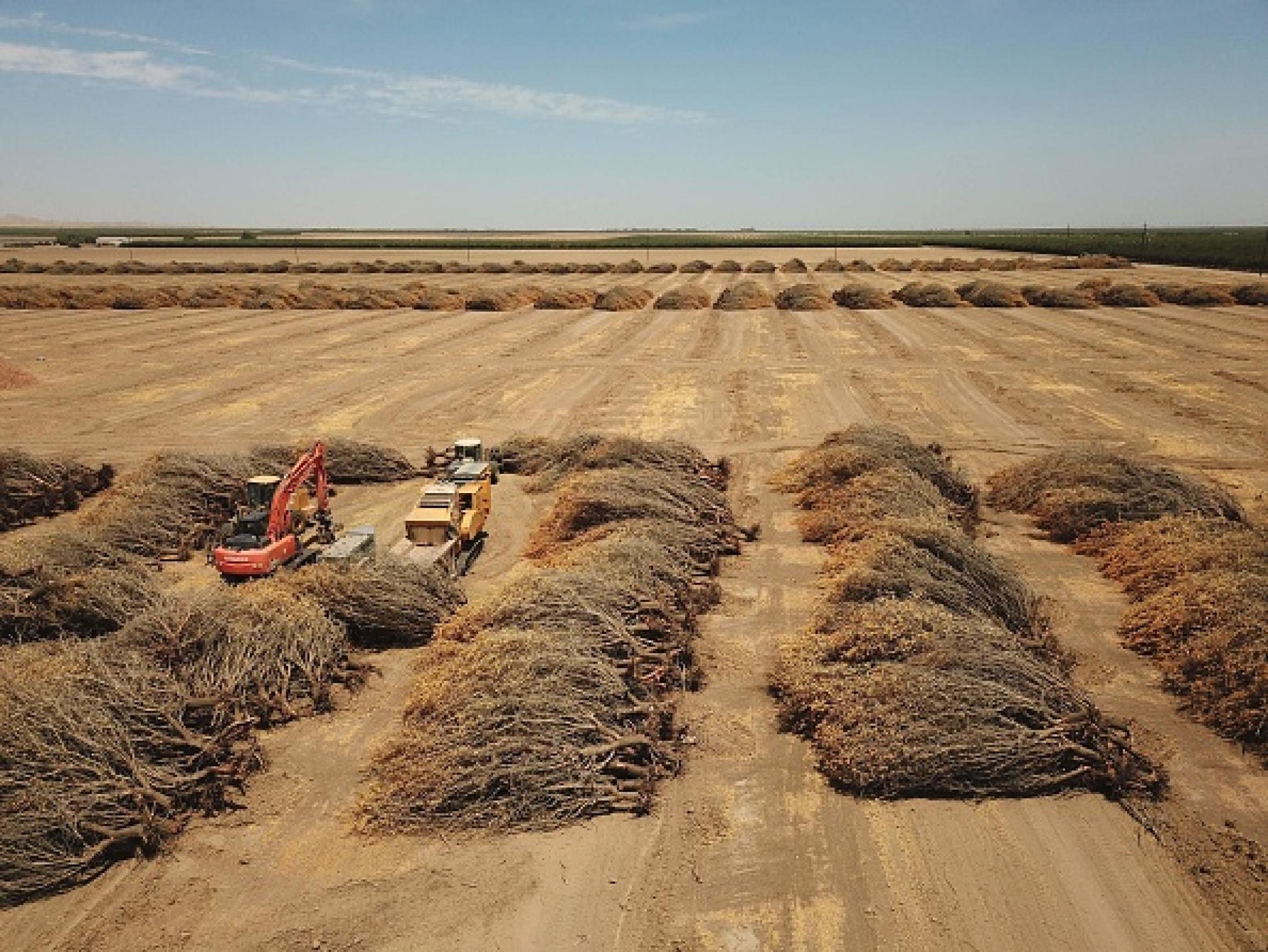 Farmer ripping almond trees