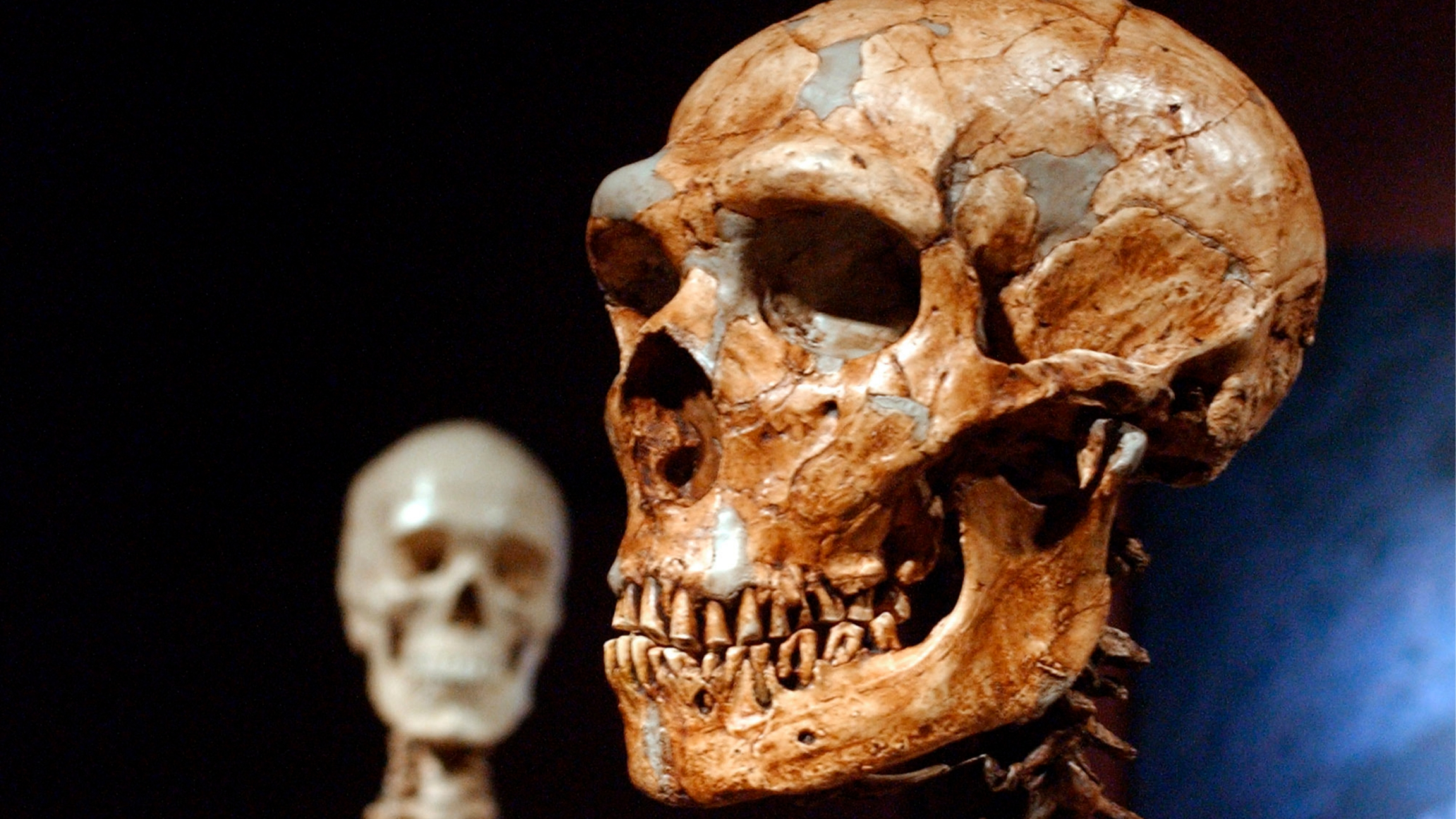A reconstructed Neanderthal skeleton, right, and a modern human skeleton on display at the Museum of Natural History in New York