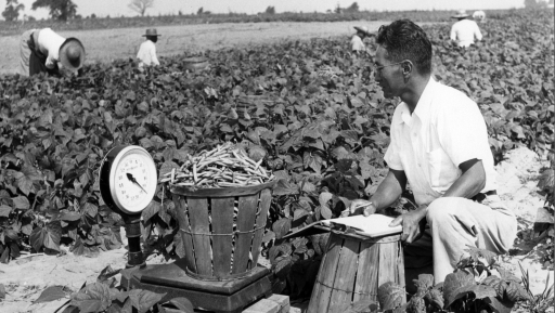 A man sits on a crate to weigh vegetables in a field, black and white photo