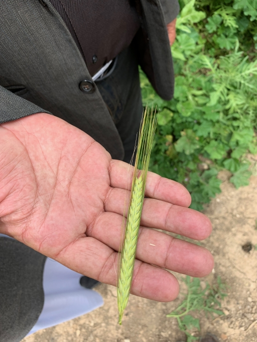 A person holds a green stalk of wheat in his hand.