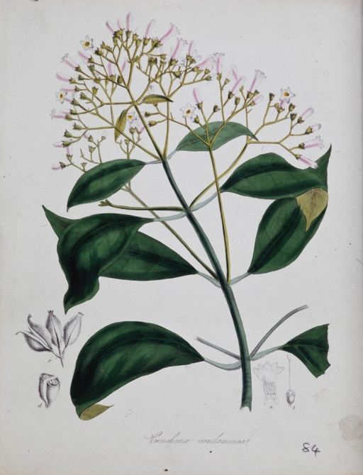 A lithograph of a flowering plant