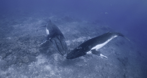 Only male humpbacks sing their famous songs - perhaps to attract a willing mate.