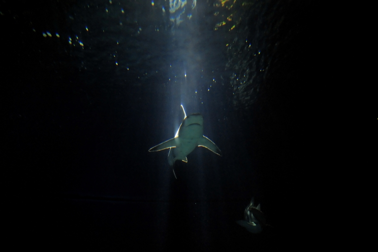<p>New study says reef sharks are disappearing from their Pacific Ocean habitats.</p>