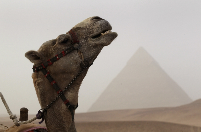 <p>Though our association with camels is often linked to things like Lawrence of Arabia, in truth, the animal developed in North America.</p>