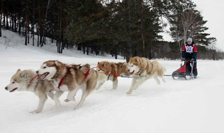 <p>A Russian musher drives a team of Alaskan malamute sled dogs during a race outside of Kemerovo on March 19, 2011.</p>