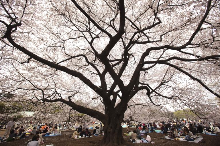 <p>Visitors gather under cherry blossoms trees at Shinjuku Gyoen National Garden on April 10, 2011 in Tokyo, Japan.</p>