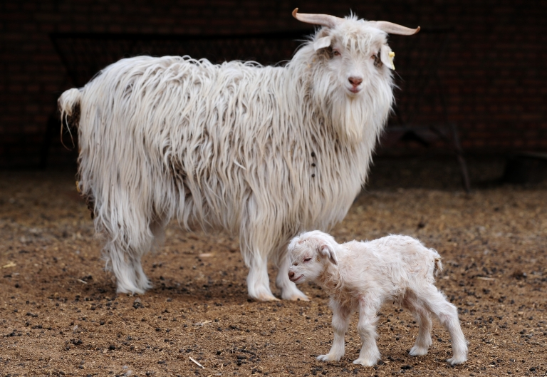 <p>Scientists in Kashmir cloned a rare Himalayan goat in an effort to increase cashmere production.</p>