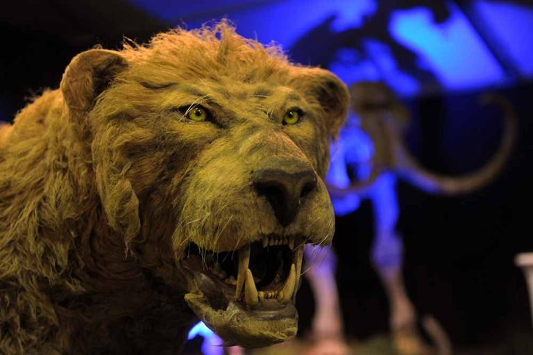 <p>A replica of an Ice Age lion is seen during the 'Giganten Der Eizeit' exhibition opening on May 31, 2011 in St Peter-Ording, Germany. A new hypothesis suggests that the Ice Age ended because of a wobble in Earth's axis.</p>