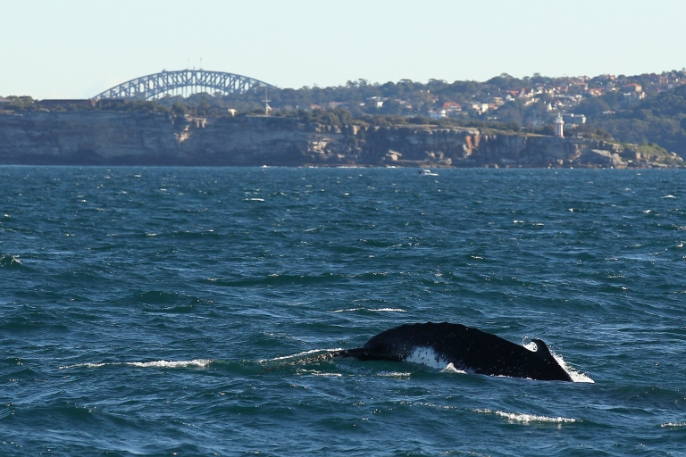 <p>A humpback whale is seen at the beginning of whale watching season during a Manly Whale Watching tour on June 23, 2011 in Sydney, Australia.</p>