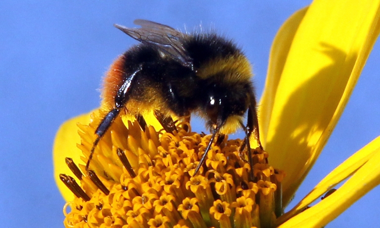 <p>A bumble bee collects nectar from the calyx of a marguerite in Berlin on July 11, 2011. Like their relatives the honey bees, bumble bees feed on nectar and gather pollen to feed their young.</p>