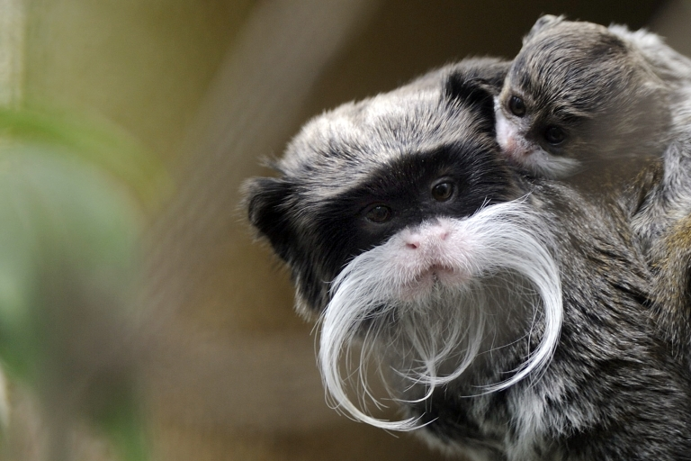 <p>A 3-month-old pied tamarin (Saguinus bicolor) with its mother in their enclosure at the zoo in Mulhouse, northeastern France. Environmentalists say these creatures are threatened by Brazil's rapid expansion.</p>