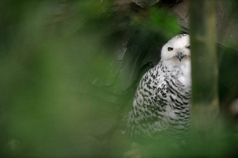 <p>A snowy owl sits in its enclosure at the