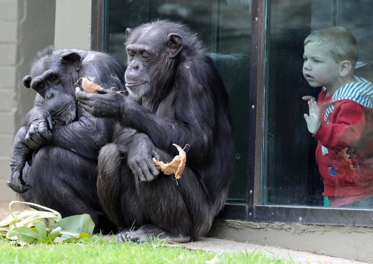 <p>A child watches chimpanzees sharing a coconut in their newly renovated habitat at Taronga Zoo in Sydney on September 30, 2011.</p>