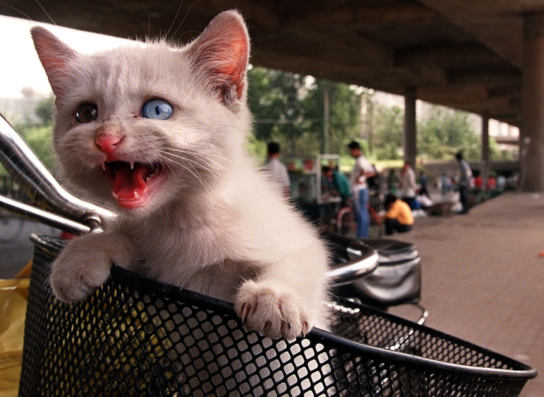 <p>A small kitten tries to escape its keeper's bicycle basket before being sold on one of Beijing's many illegal street markets.</p>