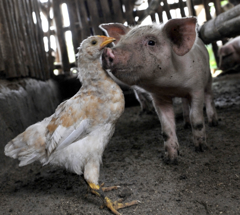 <p>A chicken stands with a piglet at a small family farm outside the quarantined commercial pig farm infected with Ebola-Reston virus in Pandi town north of Manila on January 8, 2009.</p>