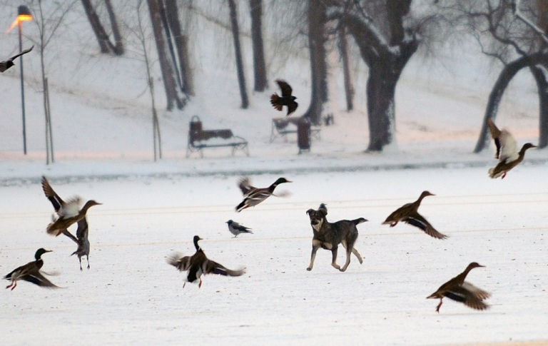 <p>A stray dog tries to catch birds on a frozen lake in a park in Bucharest on January 30, 2012. Temperatures plunged to -27 C in central Romania, where at least four people have died due to the cold.</p>