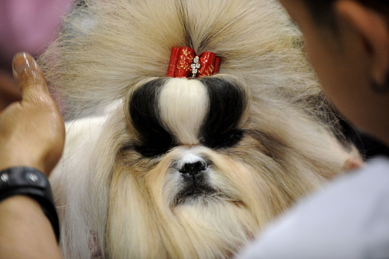 <p>A Shih Tzu dog receives grooming prior to a competition at the Asia-Pacific Dog Show in Manila on February 24, 2012. The show, organized by the Philippine Canine Club, is being held to promote and encourage love for purebred dogs, and will run until February 26.</p>