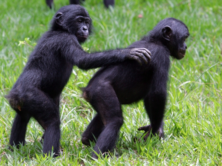 <p>Young bonobos play together in the