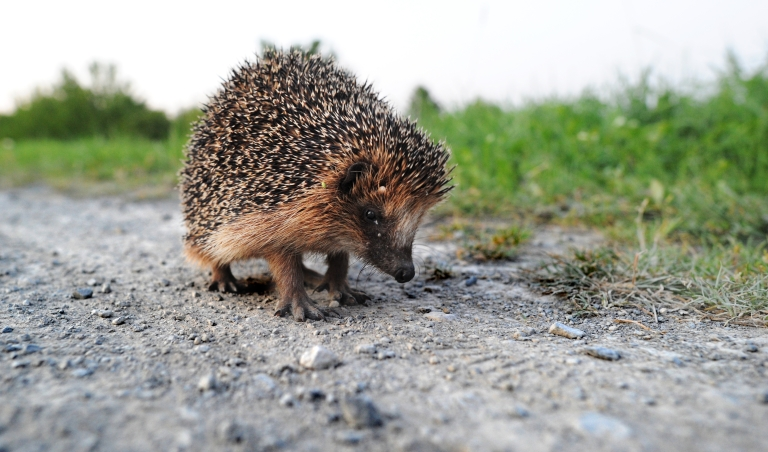 <p>Researchers have used porcupine quills to inspire a new generation of medical adhesives.</p>