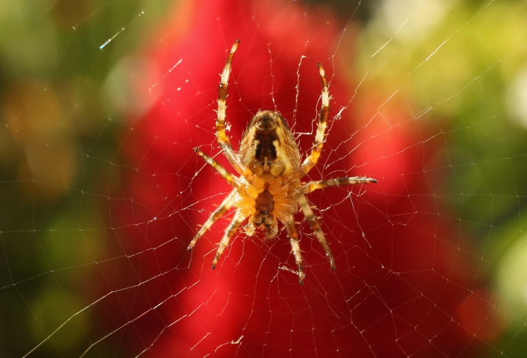 <p>Guam's bird population is declining due to alien snakes, which has caused a spider outbreak.</p>