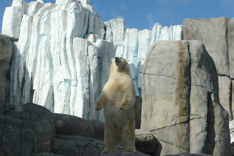 <p>Toxic environmental chemicals have been found in the brains of polar bears in Greenland.</p>