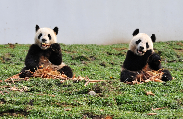 <p>A new report suggests that climate change is depleting the amount of bamboo in China, directly threatening the sustenance of the endangered giant panda.</p>