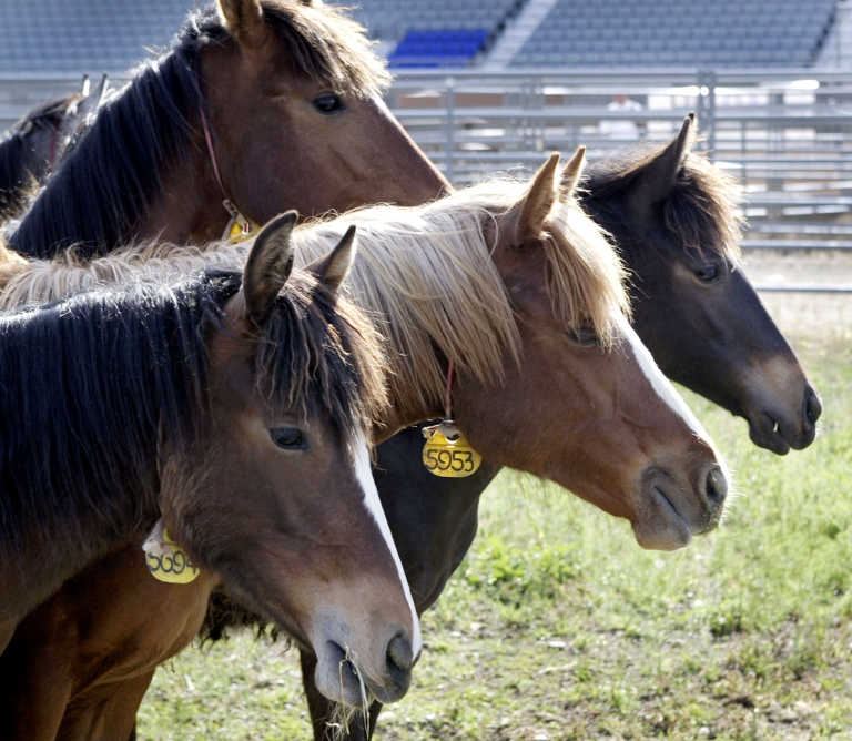 <p>Wild yearling fillies from the Oregon rangelands graze at the Spokane fairgrounds in Washington on May 13, 2005.</p>