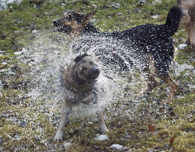 <p>A wet dog shaking itself dry is in fact a feat of evolution says a new study.</p>